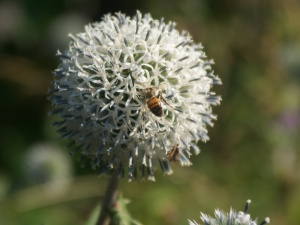 Thistle head with dead bee and white spider